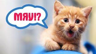 Почему кошки мяукают? 10 причин(Кошки могут издавать несколько десятков звуков. Почему кошки мяукают? Ответ очевиден: они тем самым хотят..., 2016-02-17T18:57:09.000Z)