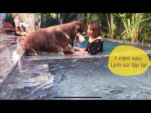 Chó Mật đi bơi - như con lợn nhảy xuống nước há há - Dog Alaska Jump into the pool