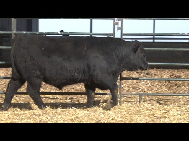 Schiefelbein Angus Farms Lot 144