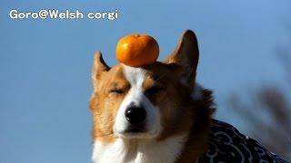 Goro Eats Orange / みかんを食べるゴローさん  20141227 Goro@welsh Corgi コーギー