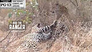 WILDlife: Leopards Mating - Big Cats on Safari