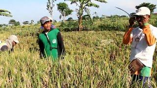 Download Kumpulan Petani Banyak Bahasa Lucu Jorok Serem Wajah Petani Tanon Sragen, Panen Padi Mesin Tleser