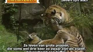 ZooZapper Siberische tijger - panthera tigris altaica