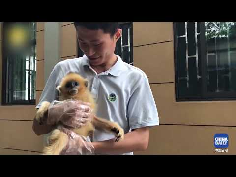 Thanks to the Chinese doctor, a golden monkey has recovered