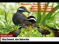 Suara Pikat burung sintar ladang/sawit