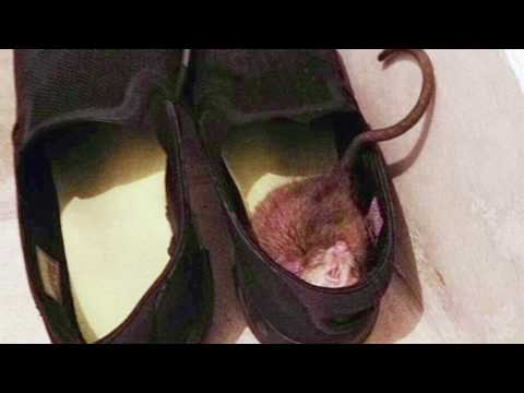 Rat in my shoe