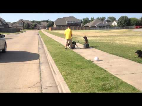 Obedience Training 2 Puppys - Tulsa, OK