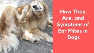 How They Are, and Symptoms of Ear Mites in Dogs