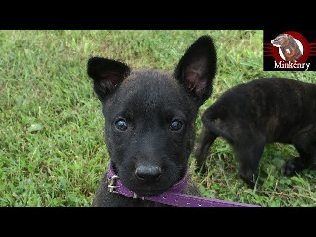 answering-common-questions-and-update-on-malinois-dutch-shepherd-puppy