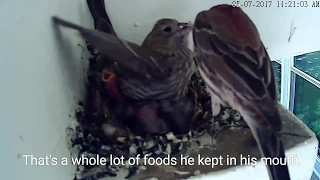 Inexperienced Mama Finch. Starved Nestling: House Finch 🐦 05.07.17