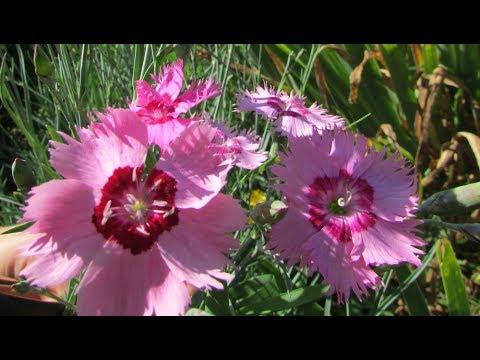 Гвоздика перистая – выращивание и уход