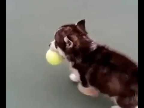 cute husky puppy - lindos perritos husky