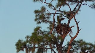 SWFL Eagles_The Fish Gift~A Stick~Grasses~Mating & The Hawks Hunt 09-30-19