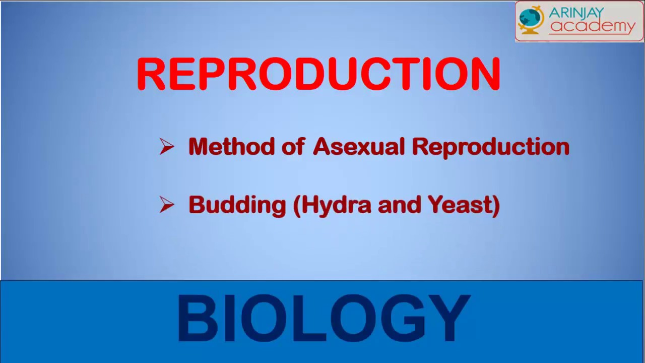 Two forms of asexual reproduction associated with yeasts