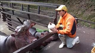 カバがおからで作ったスノーマンを食べます。飼育員が一生懸命つくった...