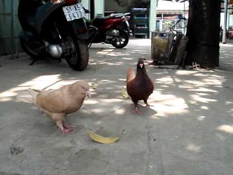 big pigeon show
