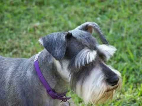 Schnauzer Facts  Facts About Schnauzers  YouTube