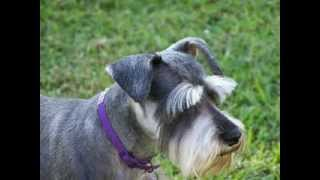 Schnauzer Facts - Facts About Schnauzers