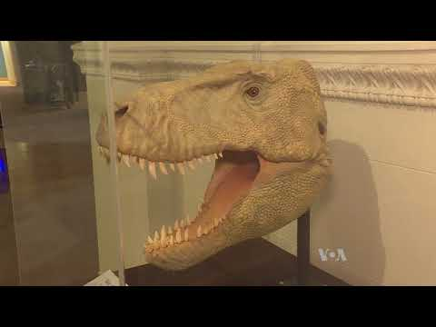 World's Most Popular Dinosaur on the Move at Chicago's Field Museum