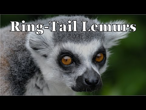 Thumbnail: Episode 85 - Ring-tailed Lemurs (Animal Adventure Park)