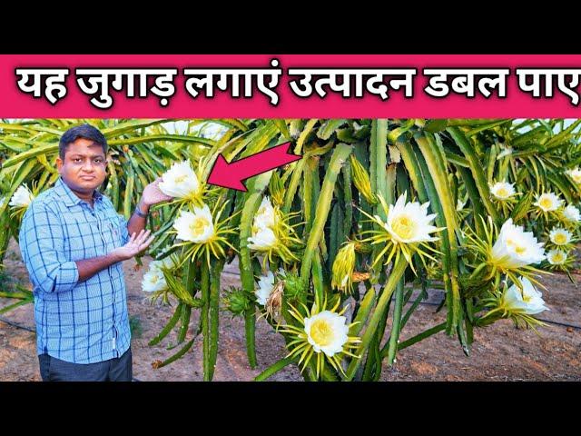 यह जुगाड़ लगाएं उत्पादन बढ़ाए How to Prune Dragon Fruit Tree Plant in India Hindi/ Trim & Cut