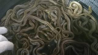 シマ蛇 Elaphe quadrivirgata 青大将 climacphoraヤマカガシ Rhabdophis tigrinus ジムグリ conspicllata