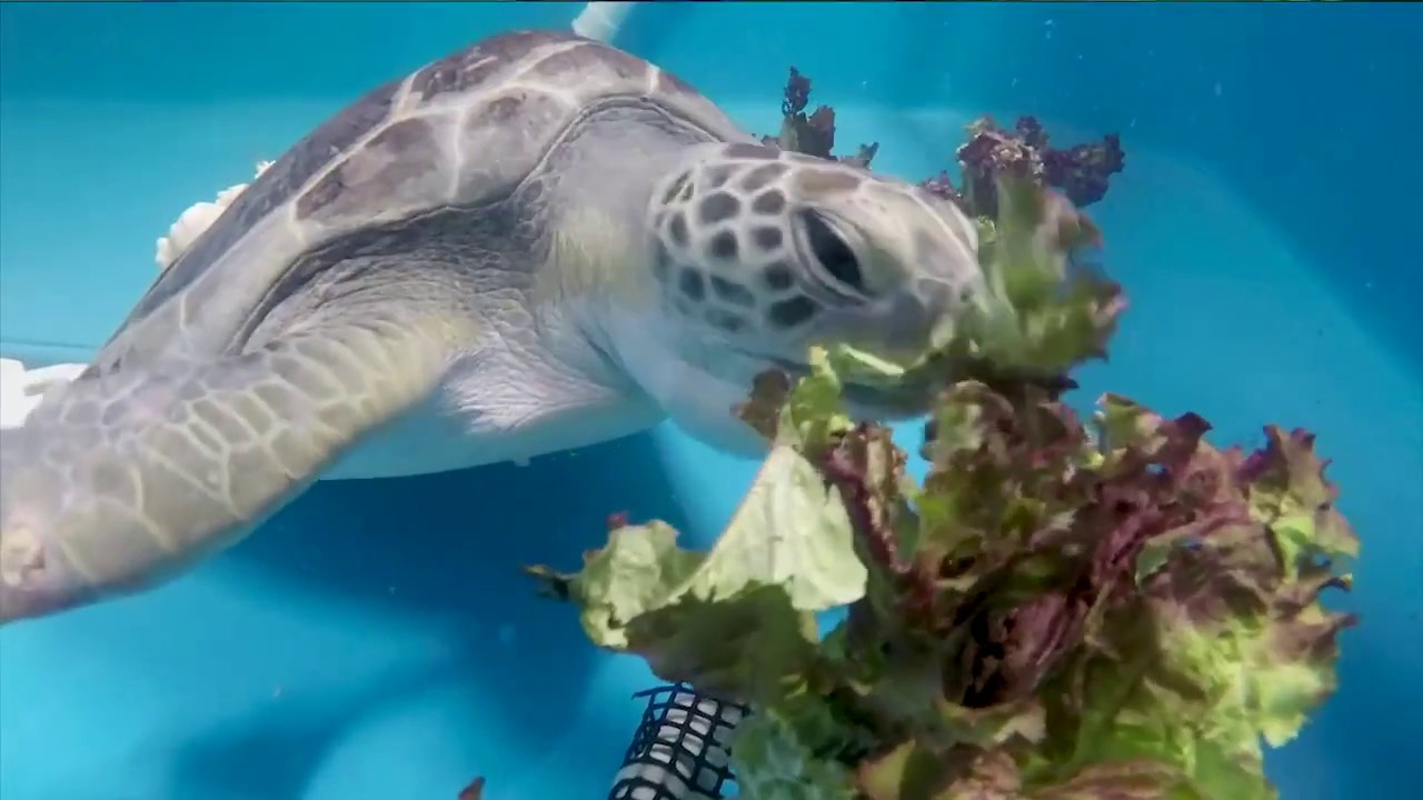 San diego zoo kids sea turtle rescue youtube san diego zoo kids sea turtle rescue publicscrutiny Choice Image