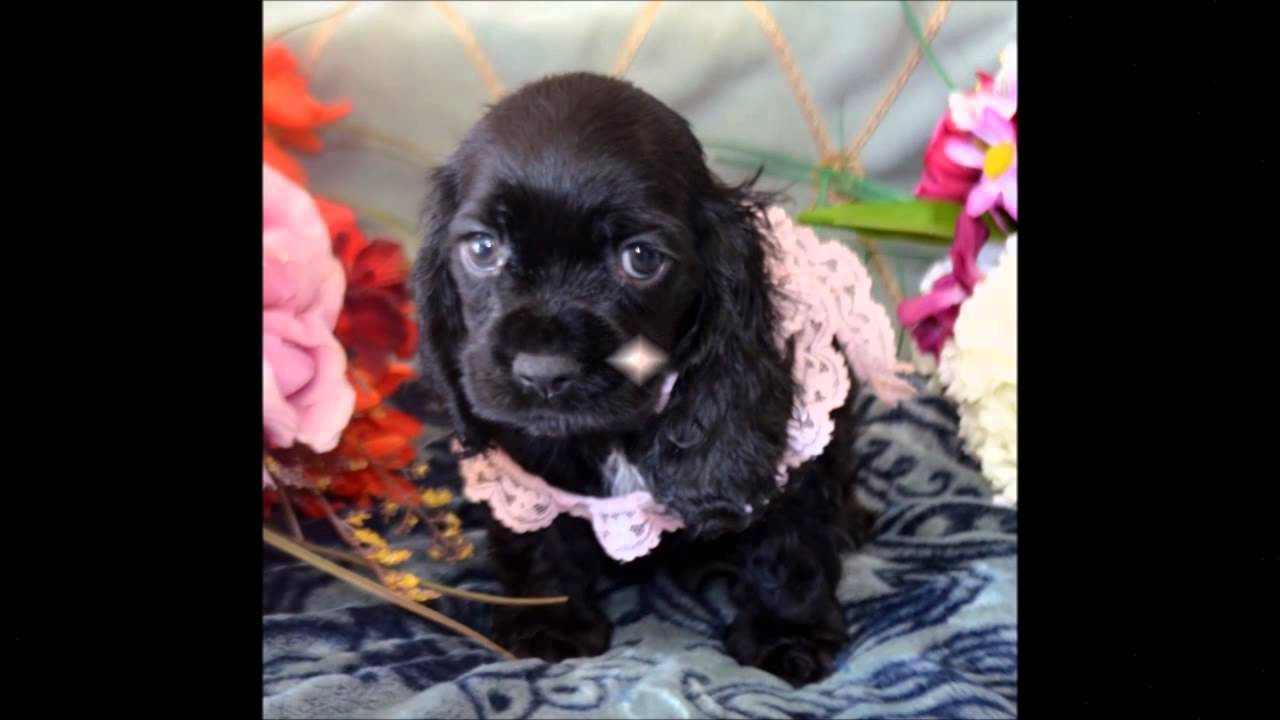 dugan cocker spaniel puppy for cocker spaniel puppies for sale www maryscockerhaven com 9608