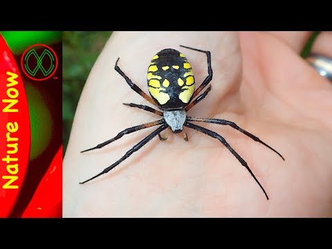 How Dangerous is a Black And Yellow Spider?