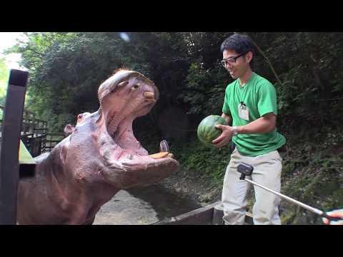 カバのスイカまるごとタイム Hippo's watermelon time.