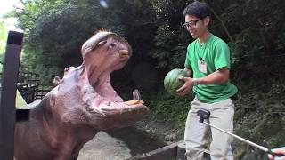 カバのスイカまるごとタイム Hippo's watermelon time. thumbnail