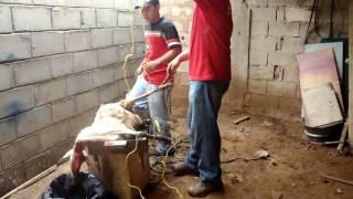Video como se mata un ovejo download MP3, 3GP, MP4, WEBM, AVI, FLV November 2017