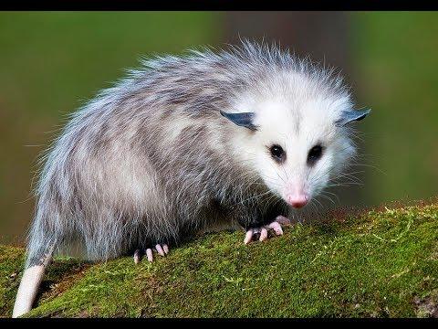 Opossum vs Possum: No More Confusion - Pest Wiki