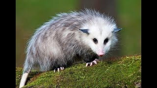 Cute Possum Videos