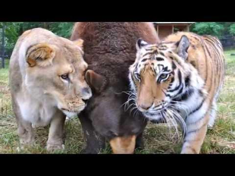 """Leo the Lion (of Noah's Ark's """"BLT"""" trio)"""
