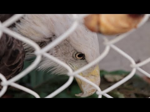 Bald Eagle found in Staten Island yard