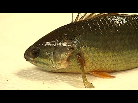 Walking Fish Poses Threat To Land Animals