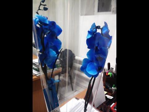 Синяя орхидея, стала белой