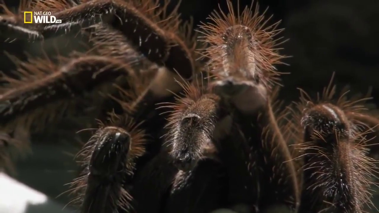 Sea Spiders Breathe with Their Guts