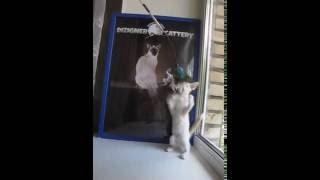 Балийская кошка Маев