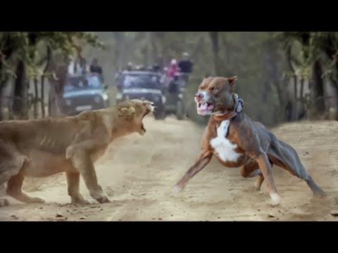 Lion VS Pitbull Real Fight - Pitbull VS Lion 2020 - Blondi Foks