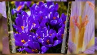 Husumer Krokusblüte