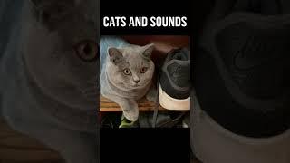 British Shorthair Cats And Noises! #shorts