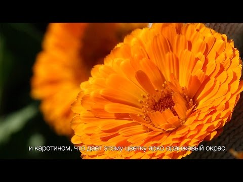 Цветы календулы лекарственной: сбор, полезные свойства для красоты кожи