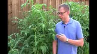 10 Tips for Growing Better Tomatoes   10 Tips for Growing Better Tomatoes Review