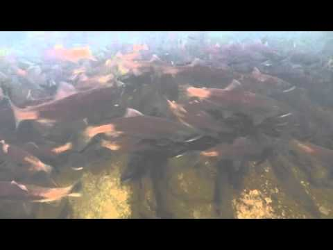 Kokanee Salmon run - Colorado 2015