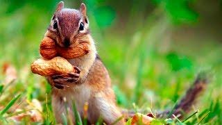 Кормление двух весёлых бурундуков - Feeding chipmunks