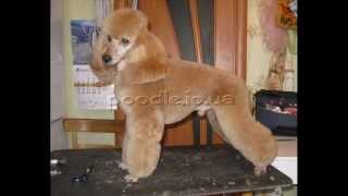стрижка пуделя (poodle grooming)