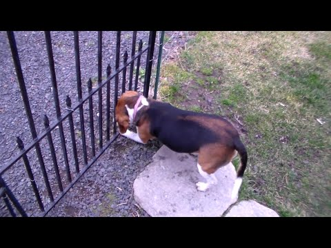 Determined Beagle Dog Tries To Salvage The Ball!