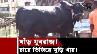 ষাঁড় যুবরাজ! | চায়ে ভিজিয়ে মুড়ি খায় | রোদে ছাতা ছাড়া হাঁটতে পারে না! | Yuvraj Cow In Bangladesh